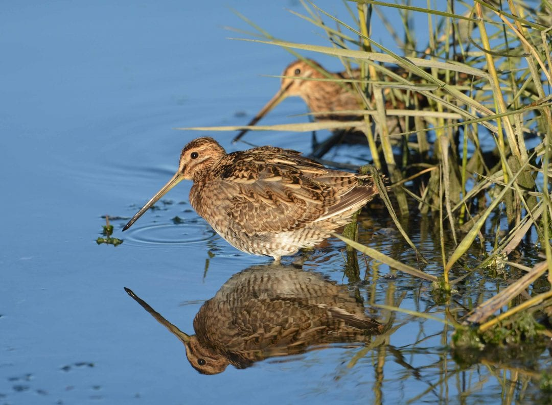two-snipe-wading-beside-sedge-with-reflection-on-water