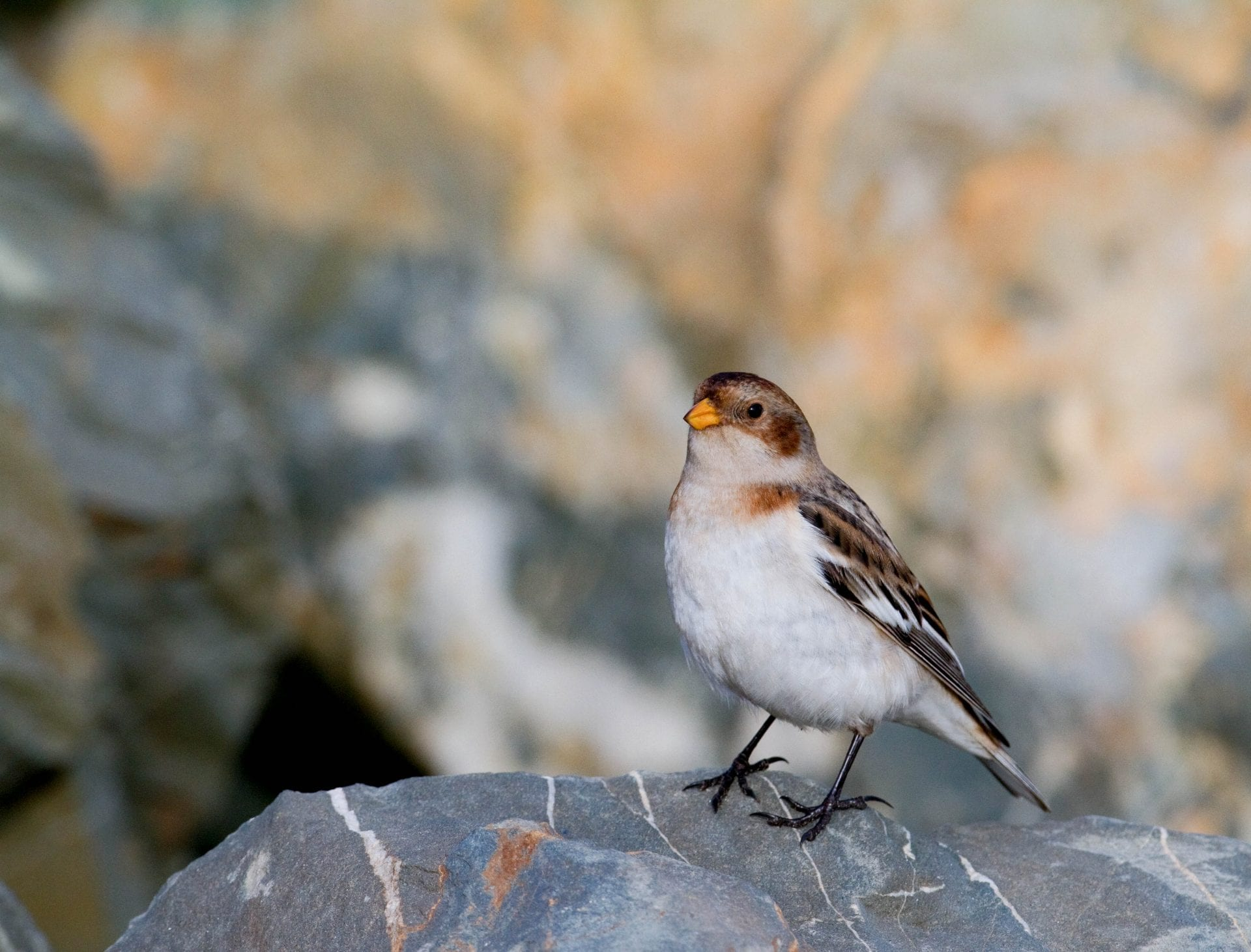 snow-bunting-standing-on-rock