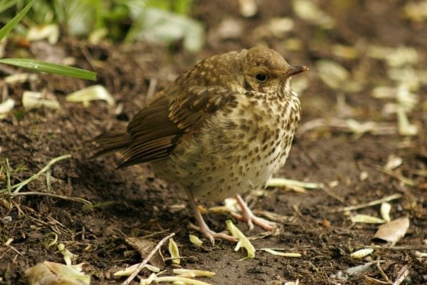 juvenile-song-thrush-standing-on-muddy-ground