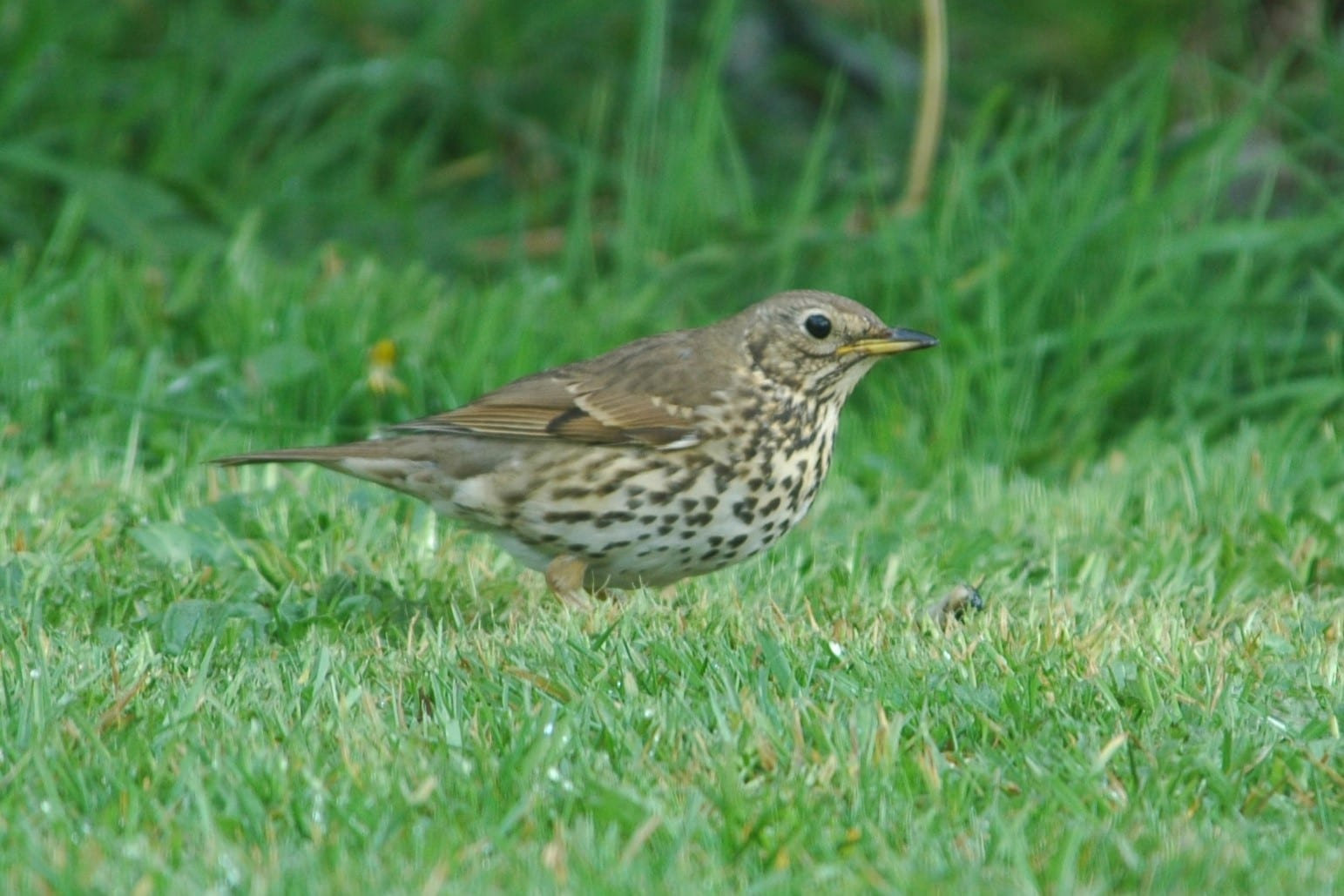 song-thrush-standing-in-grass