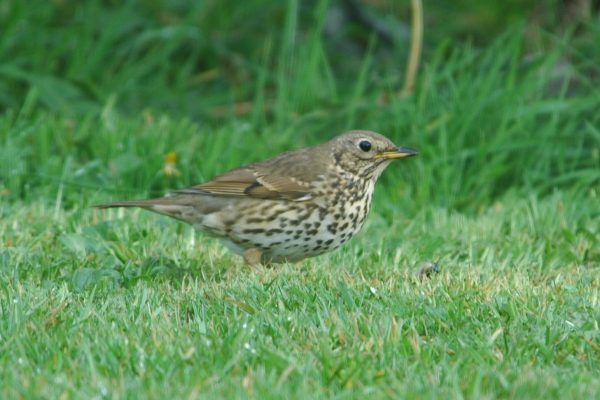 song-thrush-standing-on-grass