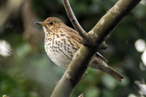 song-thrush-perched-on-branch