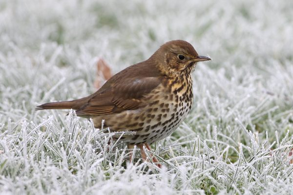 song-thrush-standing-on-icy-grass