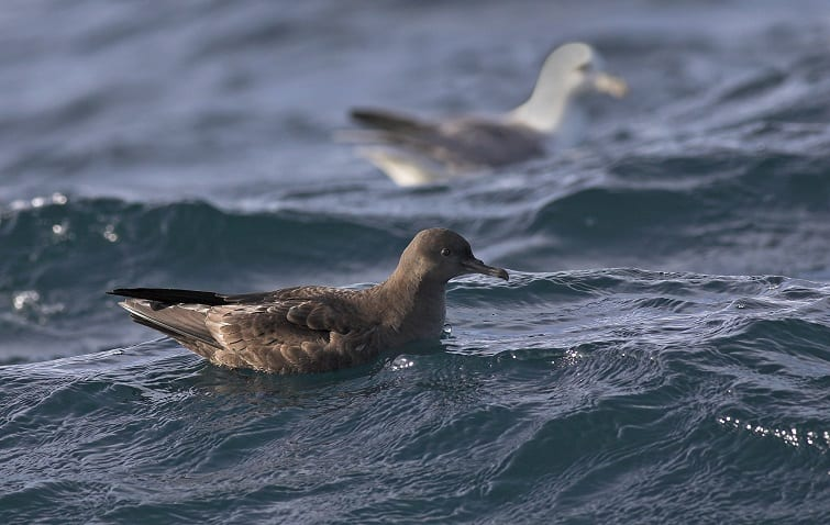 sooty-shearwater-on-the-water