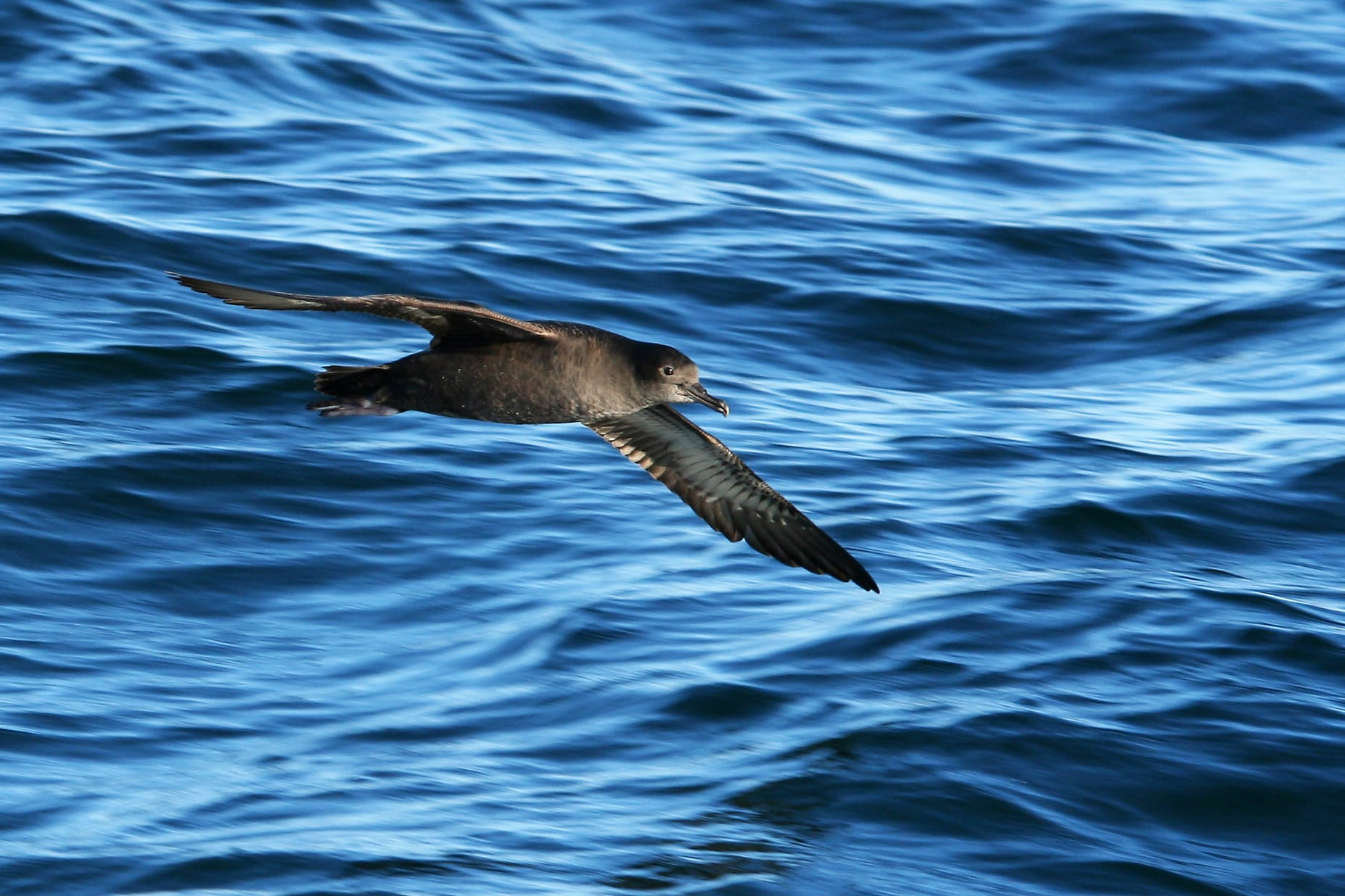 sooty-shearwater-flying-over-the-sea