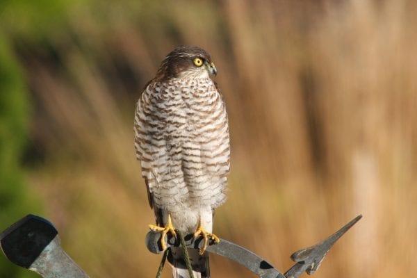 juvenile-sparrowhawk-perched-on-gate