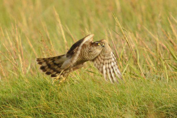 sparrowhawk-in-flight-over-grassland