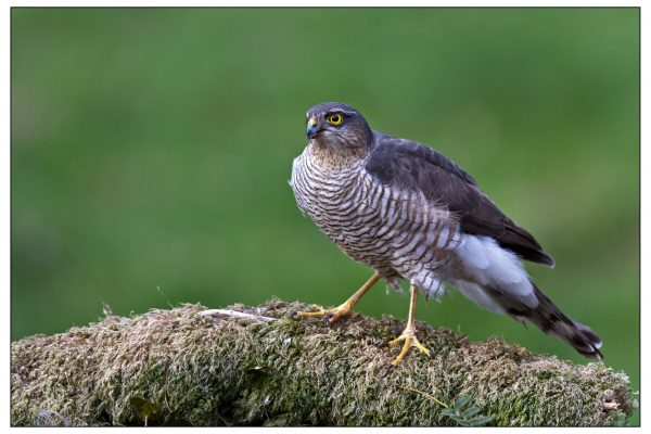 female-sparrowhawk-standing-on-mossy-branch