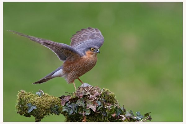 male-sparrowhawk-spreading-its-wings