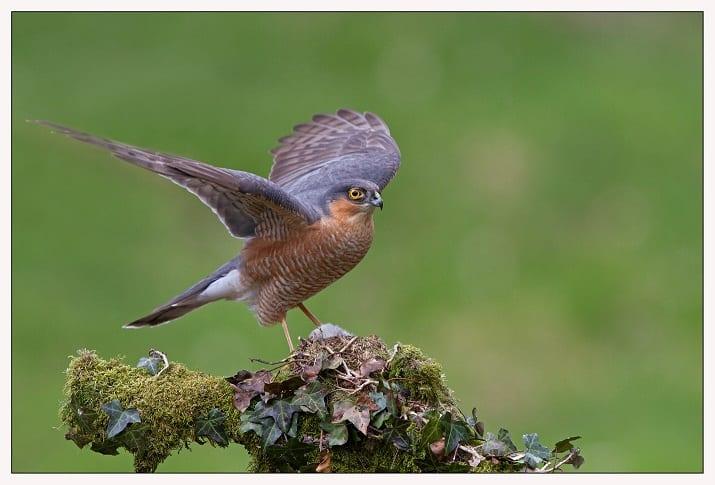 Kestrel Birdwatch Ireland