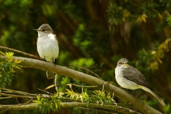 two-spotted-flycatchers-perched-on-branch