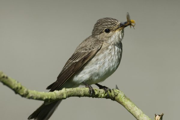 spotted-flycatcher-perching-on-branch-with-insect-beak