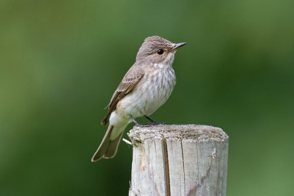 spotted-flycatcher-standing-on-fencing-post