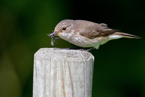 spotted-flycatcher-standing-on-fencing-post-with-insect-prey-in-beak