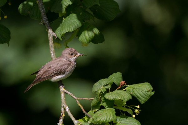 spotted-flycatcher-perched-on-branch-with-insect-prey-in-beak