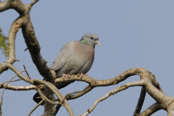 stock-dove-perched-on-tree