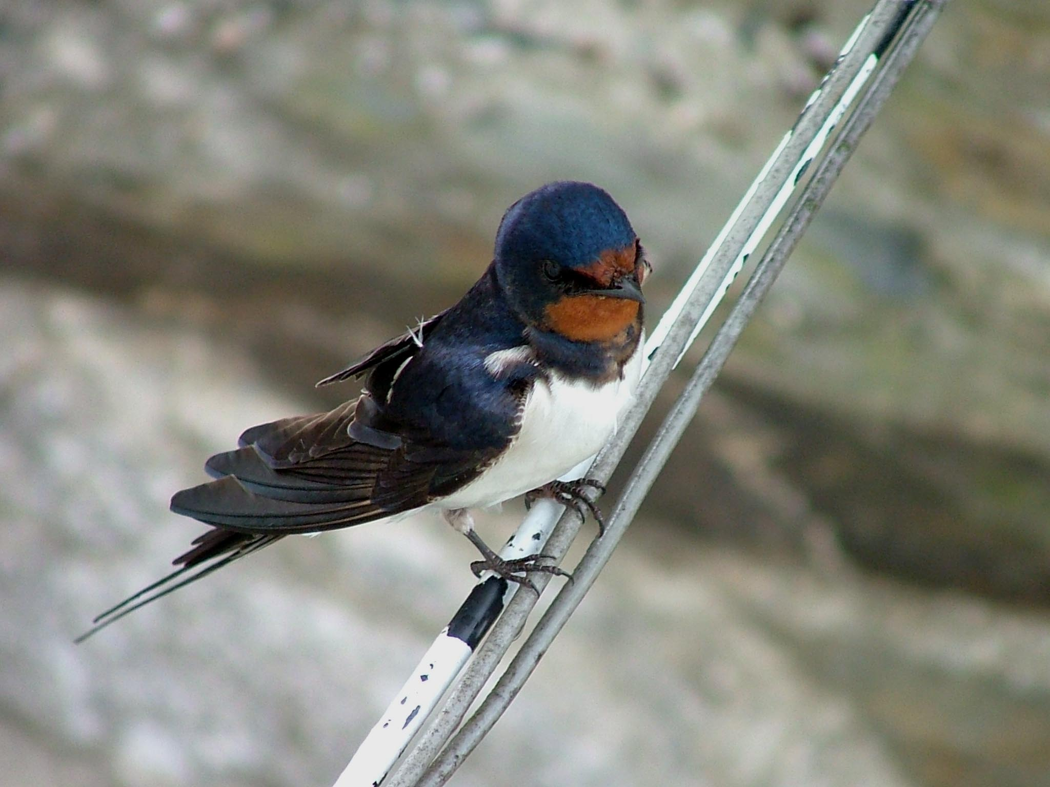aerial-view-of-swallow-perched-on-electric-cables