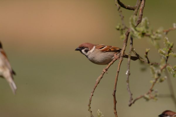 tree-sparrow-perched-on-branch-leaning-left