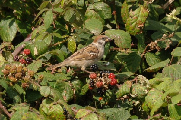 tree-sparrow-perched-on-blackberries
