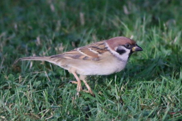 tree-sparrow-standing-on-grass