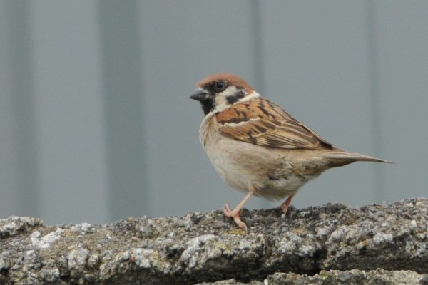 tree-sparrow-standing-on-concrete-wall
