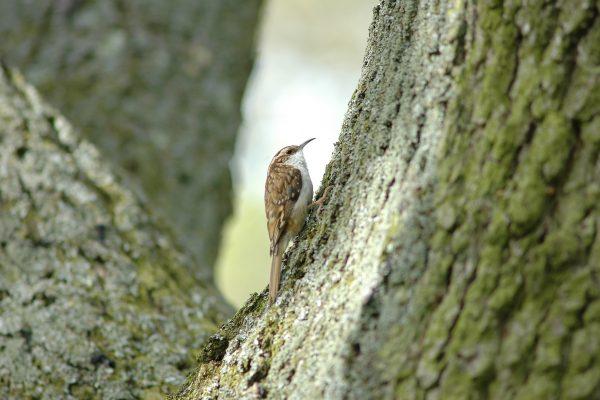 side-profile-of-treecreeper-on-tree-bark