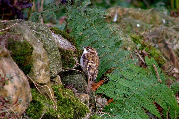 treecreeper-on-mossy-rock