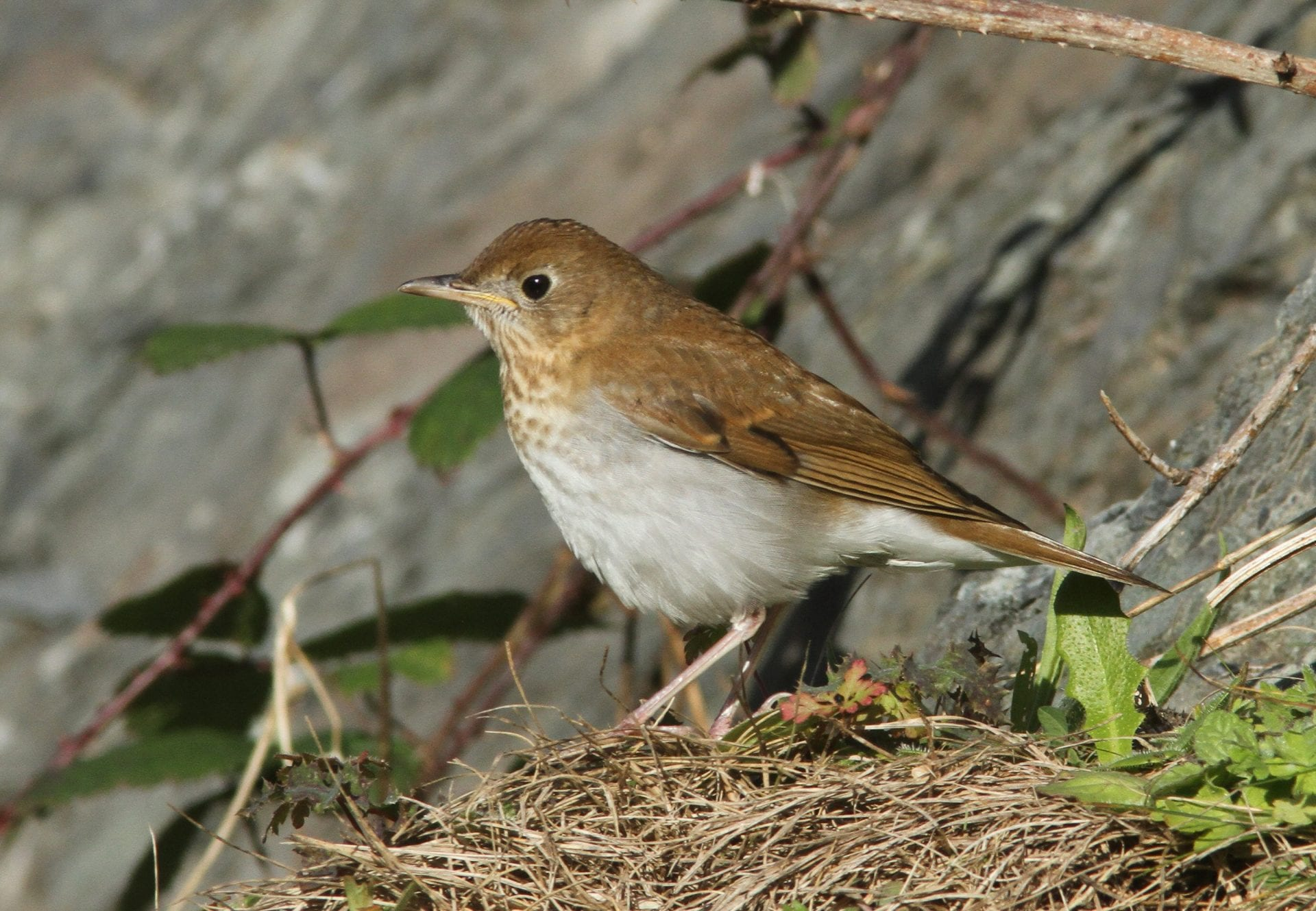 american-migrant-veery-standing-on-grassy-tuft