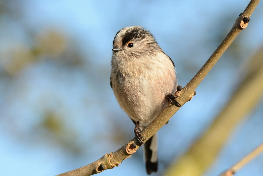 Long-tailed Tit-on-a-branch