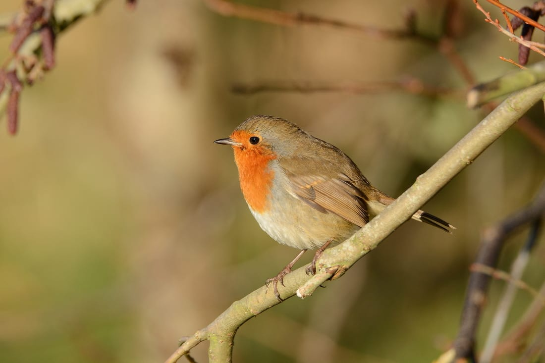 Robin-perching-on-a-branch