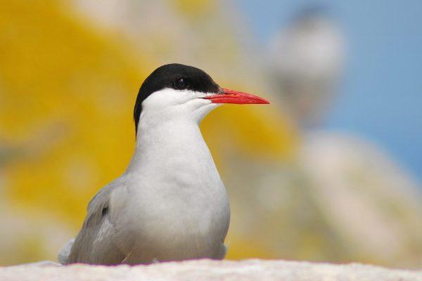 Arctic Tern 2015 - Rockabill - B Burke (1)