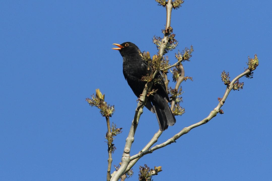 Male-Blackbird-Singing-from-the-top-of-a-tree