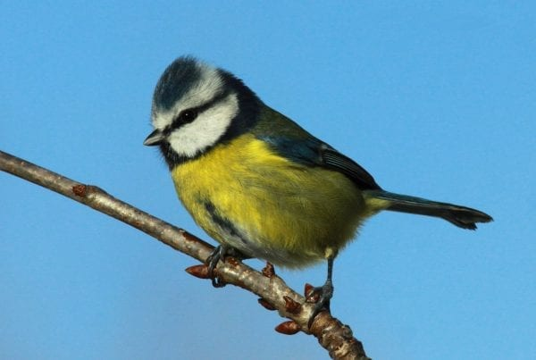 Blue-Tit-on-a-branch