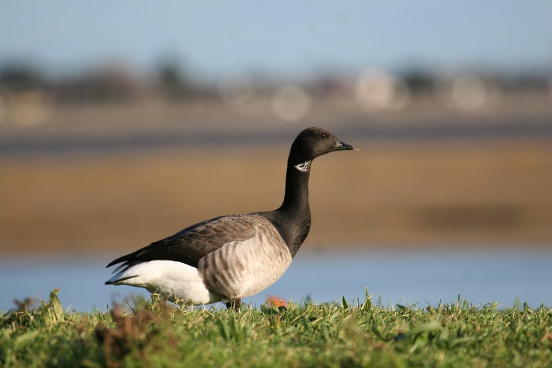 light-bellied-brent-goose-grazing