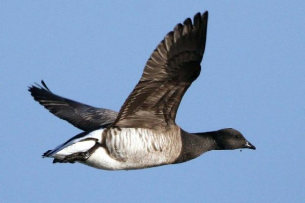 light-bellied-brent-goose-in-flight