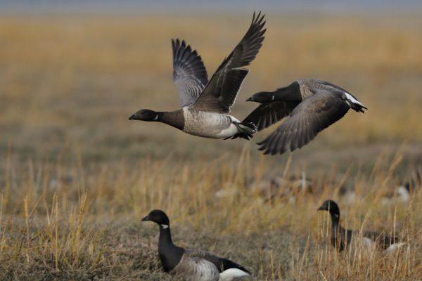 Brent Goose 82 (pale-bellied race) (John Fox)