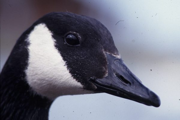 canada-goose-close-up-of-head