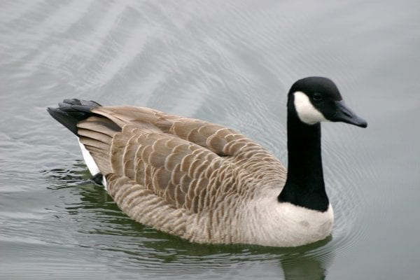 canada-goose-swimming