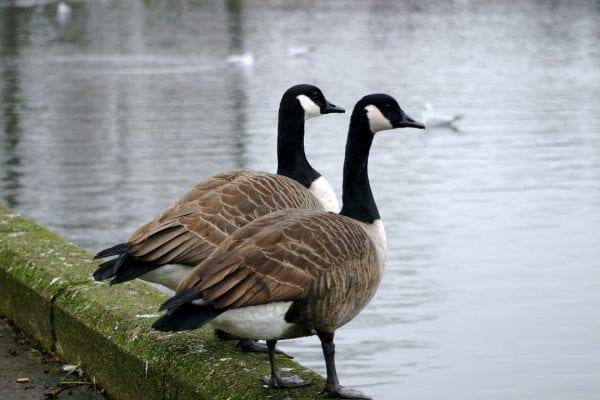 Canada Goose (Terry Flanagan)