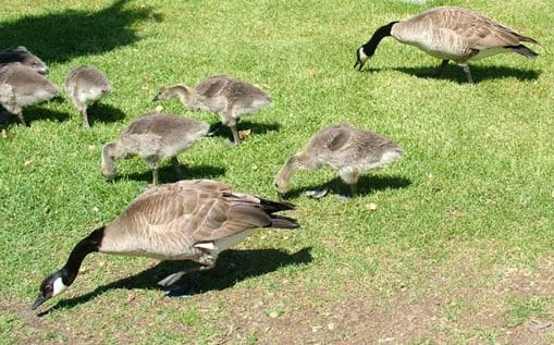 canada-geese-and-goslings-grazing