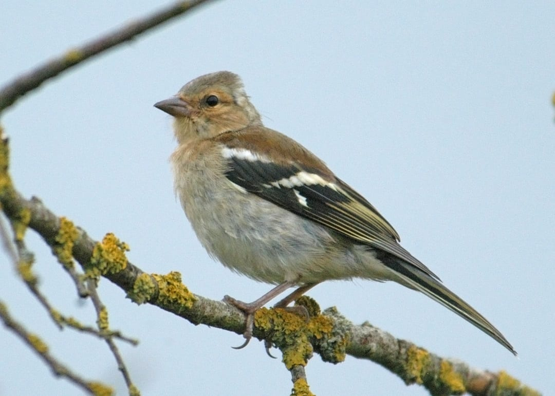 juvenile-chaffinch-standing-on-lichen-covered-branch