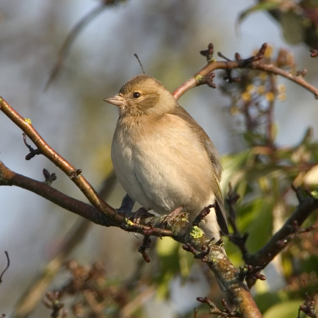 female-chaffinch-perched-on-branch