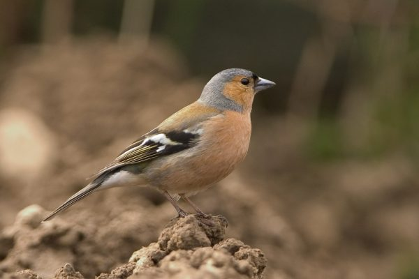 chaffinch-standing-on-muddy-ground