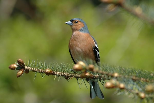 chaffinch-standing-perched-in-conifer
