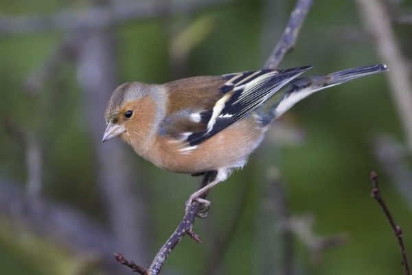 chaffinch-foraging-amongst-trees