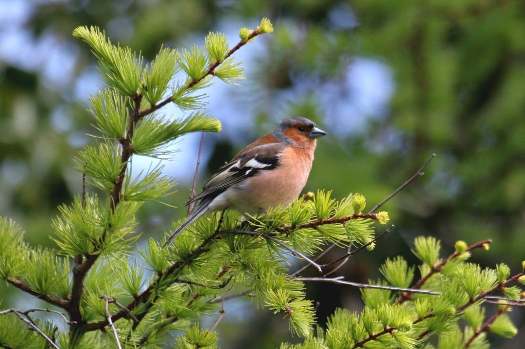 chaffinch-perched-in-cedar