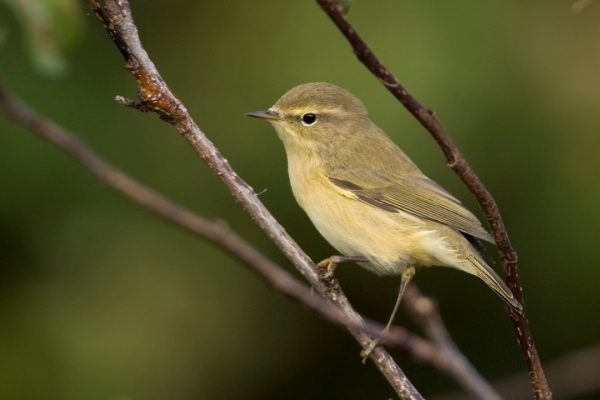 chiffchaff-perched-on-branch