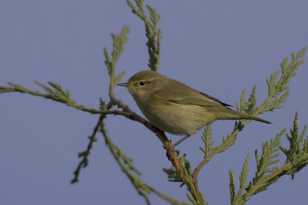 chiffchaff-perched-in-leylandii-tree
