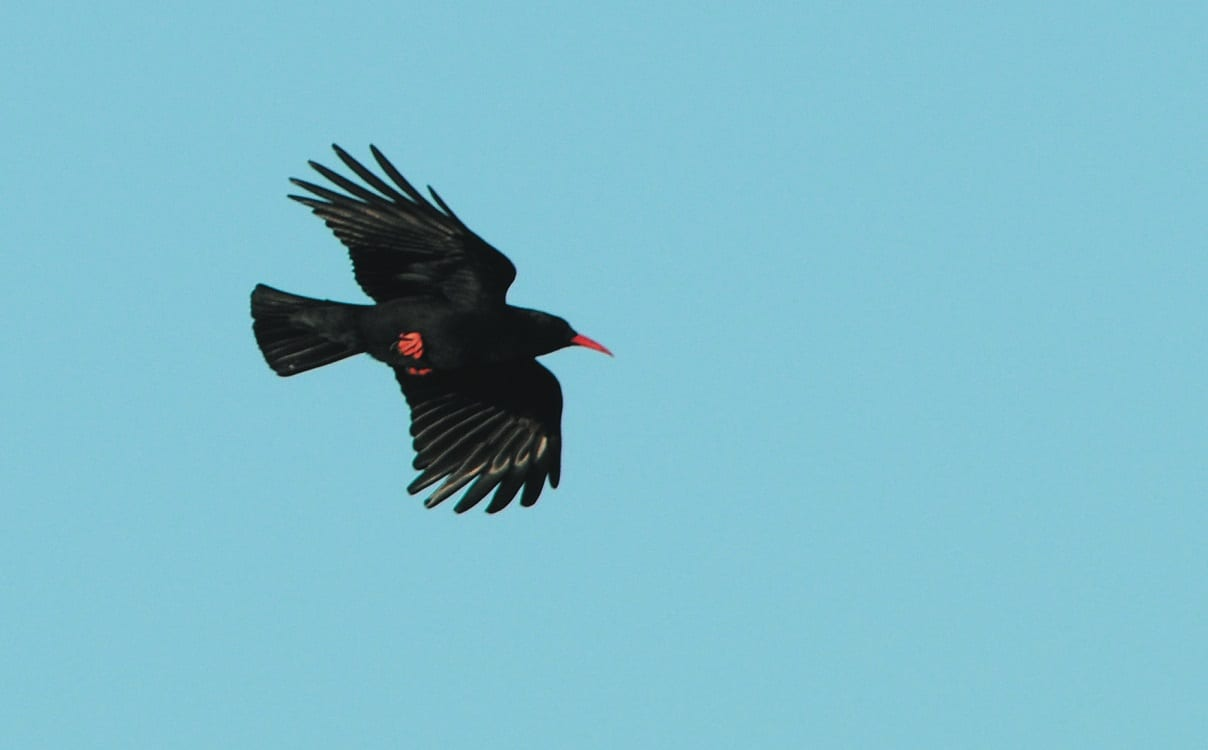 chough-in-flight-showing-red-feet