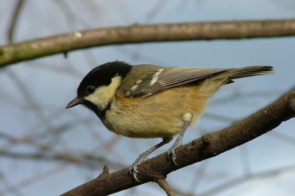 coal-tit-foraging-in-tree
